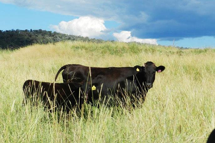 Australian Black Platinum 農場